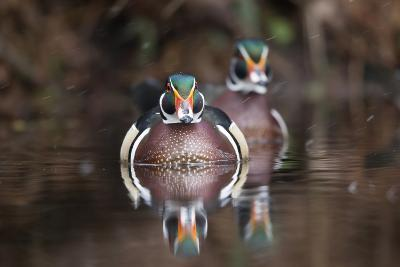 A Determined Male Wood Duck, Aix Sponsa, Moves Forward-Robbie George-Photographic Print