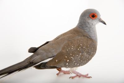 A Diamond Dove, Geopelia Cuneata, at Healesville Sanctuary.-Joel Sartore-Photographic Print