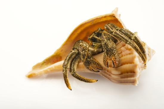 A Digger Hermit Crab, Paguristes Bakeri, at the Indianapolis Zoo-Joel Sartore-Photographic Print