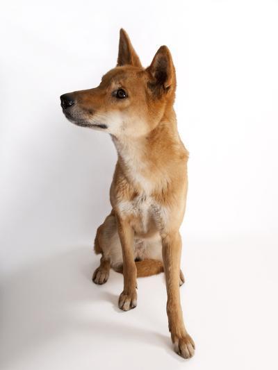A Dingo or Warrigal, Canis Lupus Dingo-Joel Sartore-Photographic Print