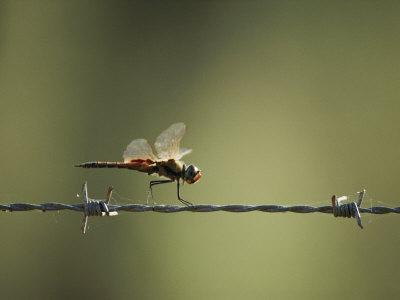 https://imgc.artprintimages.com/img/print/a-diplacodes-dragonfly-lands-on-a-piece-of-barbed-wire_u-l-p3r5q40.jpg?p=0