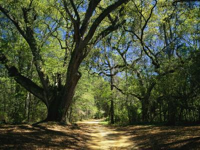 A Dirt Road Through a Forest Passes a Large Tree with Spanish Moss-Raymond Gehman-Photographic Print