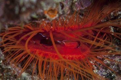 A Disco Clam on a Reef Near the Island of Sulawesi, Indonesia-Stocktrek Images-Photographic Print