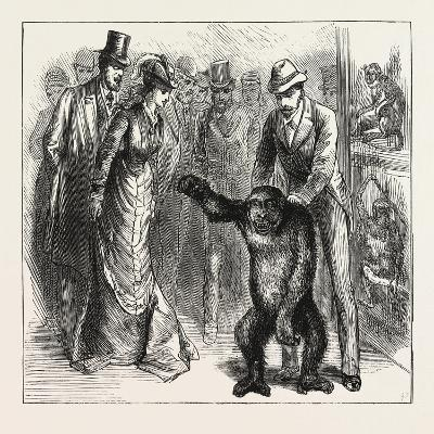 A Distinguished Visitor at Liverpool, the Young Gorilla Holding a Reception in the Museum, 1876, Uk--Giclee Print
