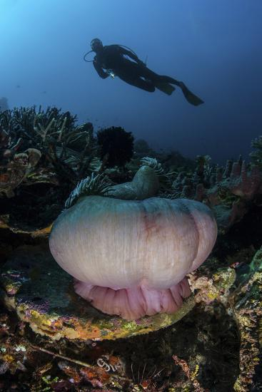 A Diver Hovers Above a Magnificent Sea Anemone in Indonesia-Stocktrek Images-Photographic Print