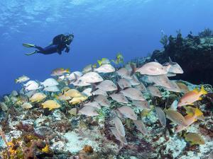 A Diver Hovers over a School of Grunts and Snappers on a Caribbean Reef