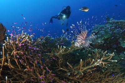 A Diver Looks on at a Lionfish Hovering Above Staghorn Coral, Indonesia--Photographic Print