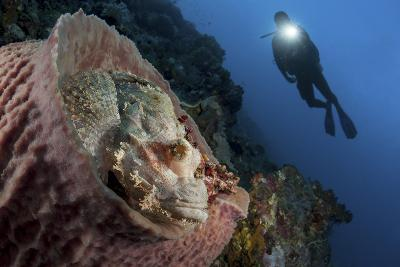 A Diver Looks on at a Tassled Scorpionfish Lying in a Barrel Sponge-Stocktrek Images-Photographic Print