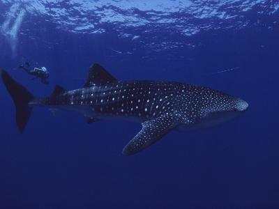A Diver Swims with a 35-Foot-Long Whale Shark-David Doubilet-Photographic Print