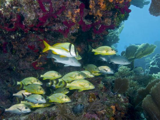 A Diversity of Grunt Fish Under a Colorful Coral Reef, Key Largo, Florida-Stocktrek Images-Photographic Print