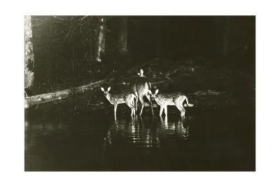 A Doe and Her Fawns are Caught by a Camera-George Shiras-Photographic Print