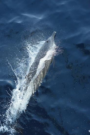 A Dolphin Swimming in the Clear Blue Waters of the Pacific Ocean-Jonathan Kingston-Photographic Print