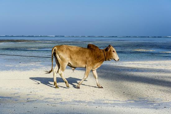 A Domestic Bull Walking Along a White Sand Beach on a Tropical Island at Low Tide-Jason Edwards-Photographic Print