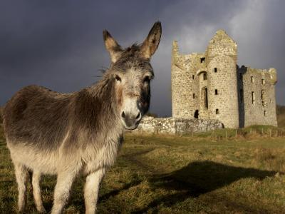 A Donkey Grazes in Front 17th Century Monea Castle, County Fermanagh, Ulster, Northern Ireland-Andrew Mcconnell-Photographic Print