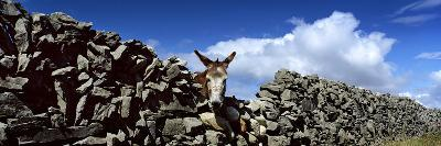 A Donkey Looking over a Stone Wall in Galway Ireland-Chris Hill-Photographic Print