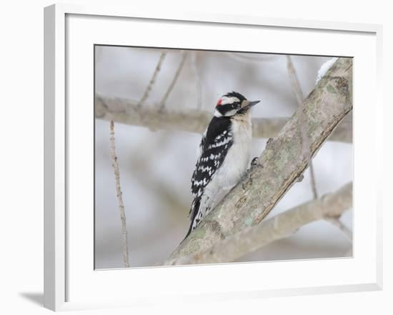 A Downy Woodpecker, Picoides Pubescens, on a Snowy Tree Branch-George Grall-Framed Photographic Print