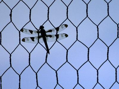 A Dragonfly Clings to the Wire of a Backstop During the Iowa High School Baseball Tournament--Photographic Print