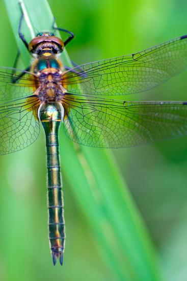 A Dragonfly (Cordulia Aenea) Warming its Wings in the Early Morning Sun- corlaffra-Photographic Print