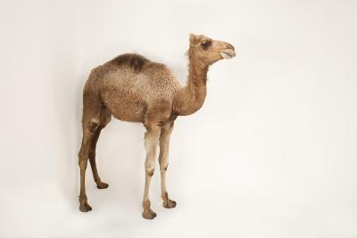 A Dromedary Camel, Camelus Dromedarius, at the Gladys Porter Zoo.-Joel Sartore-Photographic Print