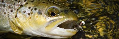 A Dry Fly Caught Brown Trout from a Small Mountain Stream in Utah in Late Summer.-Clint Losee-Photographic Print