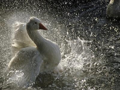 A Duck Splashes in the Water of Lake Banyoles-Tino Soriano-Photographic Print