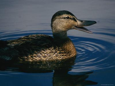A Duck Swims in the Marshes of the Meadowlands-Melissa Farlow-Photographic Print