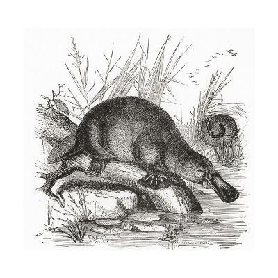 A Duckbilled Platypus--Giclee Print