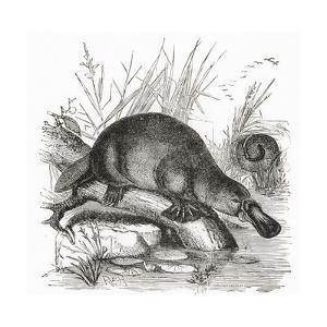 A Duckbilled Platypus