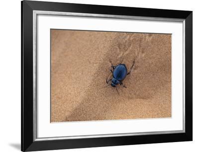 A Dung Beetle, Scarabaeoidea, Walking on Desert Sand in Sahara Desert-Richard Nowitz-Framed Photographic Print