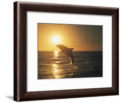 A Dusky Dolphin, Lagenorhynchus Obscurus, Leaps from the Water-Bill Curtsinger-Framed Photographic Print