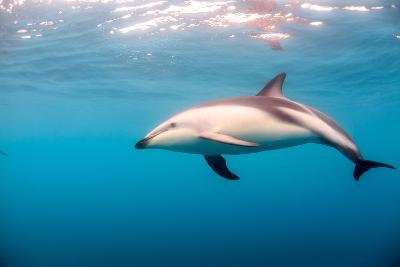 A Dusky Dolphin Swimming, South Island, New Zealand-James White-Photographic Print