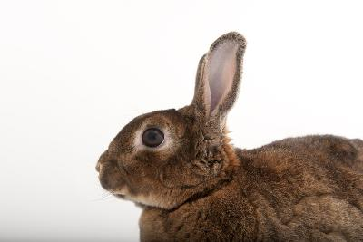 A Dwarf Rabbit, Oryctolagus Cuniculus Domestic, from the Gladys Porter Zoo.-Joel Sartore-Photographic Print