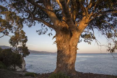 A Eucalyptus Tree Overlooking the Santa Barbara Channel-Macduff Everton-Photographic Print