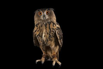A Eurasian Eagle Owl, Bubo Bubo, at Ocean Park-Joel Sartore-Photographic Print