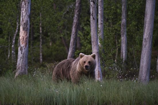 A European Brown Bear, Ursus Arctos Arctos, in Tall Grass-Sergio Pitamitz-Photographic Print