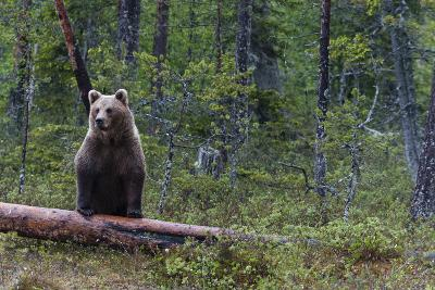 A European Brown Bear, Ursus Arctos Arctos, Standing on a Dead Log-Sergio Pitamitz-Photographic Print
