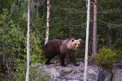 A European Brown Bear, Ursus Arctos Arctos, Walking across a Rock-Sergio Pitamitz-Photographic Print
