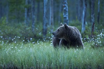 A European Brown Bear, Ursus Arctos, Walking in the Forest at Night, Kuhmo, Finland-Sergio Pitamitz-Photographic Print