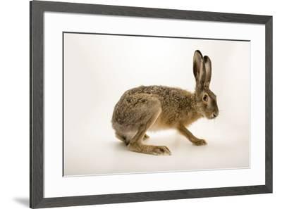 "A European hare, Lepus europaeus, at Centro Fauna Selvatica ""Il Pettirosso"".-Joel Sartore-Framed Photographic Print"