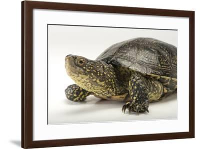 A European Pond Turtle, Emys Orbicularis-Joel Sartore-Framed Photographic Print