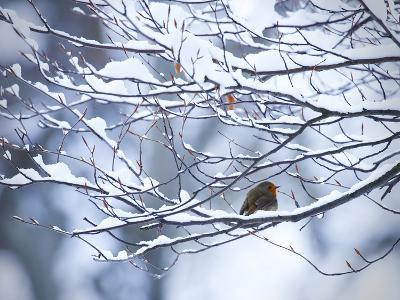 A European Robin, Erithacus Rubecula, on a Snow Covered Branch-Alex Saberi-Photographic Print