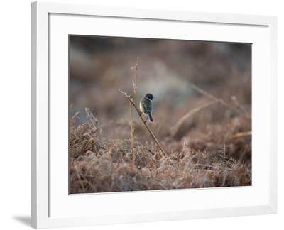 A European Stonechat Rests on a Twig in the Early Morning in Richmond Park-Alex Saberi-Framed Photographic Print