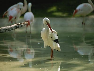 A European White Stork Wades with Chilean Flamingos in Shallow Pool-Joel Sartore-Photographic Print