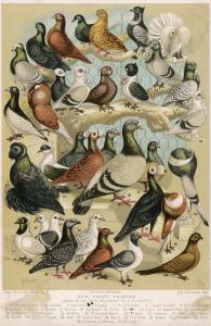Fancy Pigeon Breeds by A.f. Lydon