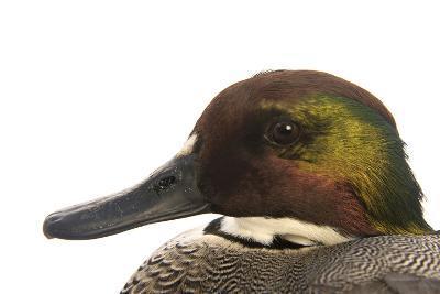 A Falcated Duck, Anas Falcata, at the Palm Beach Zoo-Joel Sartore-Photographic Print