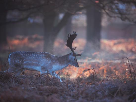 A Fallow Deer in the Early Morning Winter Mist in Richmond Park-Alex Saberi-Photographic Print
