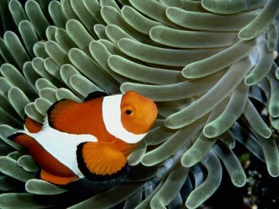 A False Clown Anemonefish Swims Through Sea Anemone Tentacles-Wolcott Henry-Photographic Print