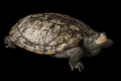 A False Map Turtle, Graptemys Pseudogeographica-Joel Sartore-Photographic Print