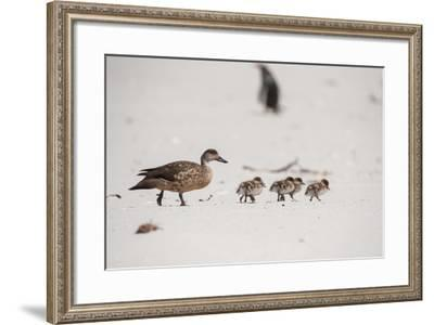 A Family of Crested Ducks Walk in a Row-Tom Murphy-Framed Photographic Print