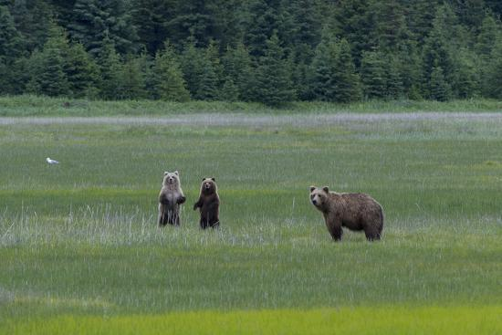 A Family of Grizzly Bears, Ursus Arctos Horribilis, are Alert to Another Bear-Barrett Hedges-Photographic Print
